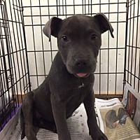Pet Card The Coolest Pitbull Terrier Pet Adoption Terrier