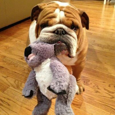 23 Best Toys For English Bulldogs The Paws Bulldog Puppies