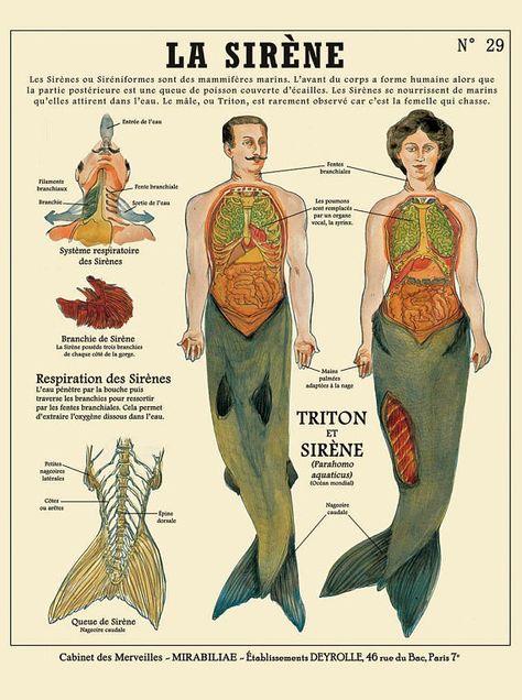 The siren / Mermaid print - cabinet of curiosities by the artist Camille Renversade Deyrolle poster