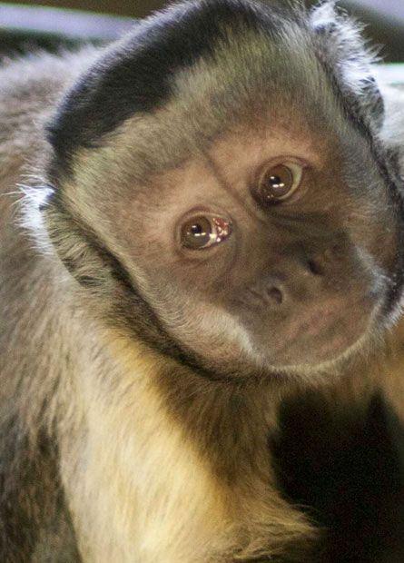 Pygmy Marmoset Pygmy Marmoset Marmoset Monkey Tiny Monkey