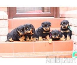 Rottweiler Puppies For Sale Rottweiler Puppies For Sale In Va