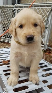Litter Of 13 Golden Retriever Puppies For Sale In Willow Springs