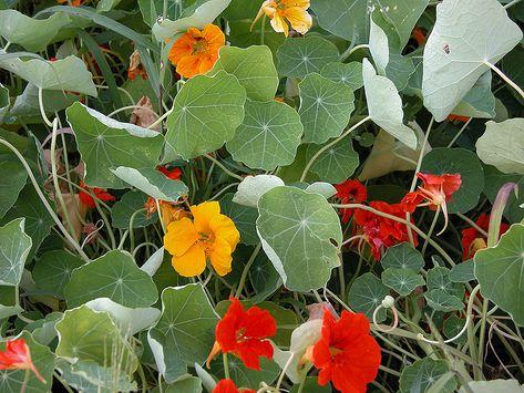 Nasturcja Wieksza Tropaeolum Majus To Roslina Rodem Z Ameryki Poludniowej Wystepuje Zwlaszcza W Boliwii Oraz Peru Jest Szczegolnie Cen Plants Garden Jardim
