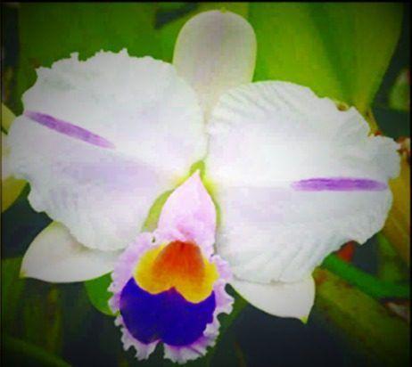 Cattleya Trianae Pincelada Coerulea Blue Select