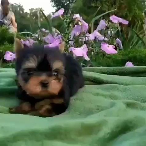 baby yorkie puppies for sale.