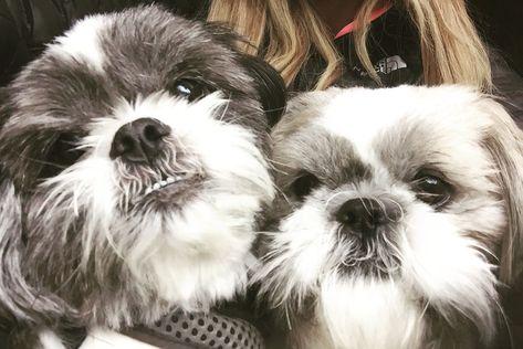 Shih Tzu Selfie Or Are They Ewoks Shihtzu Shih Tzu Cute Dogs And Puppies Cute Dogs