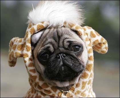 Pugs Pose Pugs In Costume Cute Animals Animals