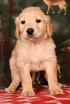 Litter Of 4 Golden Retriever Puppies For Sale In San Francisco Ca