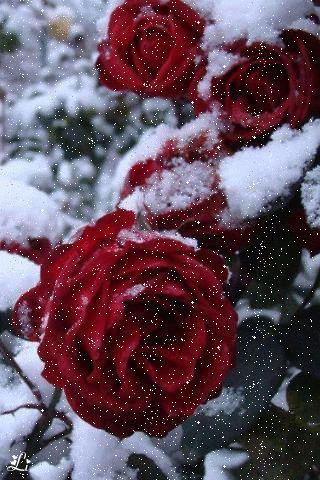 Rose - Beautiful68