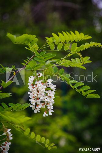 White Flowering Of Honey Acacia Spring Mood Blooming Flowers Of Acacia Bush May Blossom Natural Spring Style Ar In 2020 Spring Nature Spring Mood Blooming Flowers