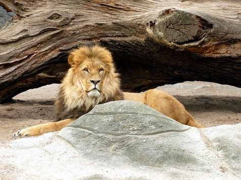Free Image on Pixabay - Lion, Lions Male, Lion'S Mane