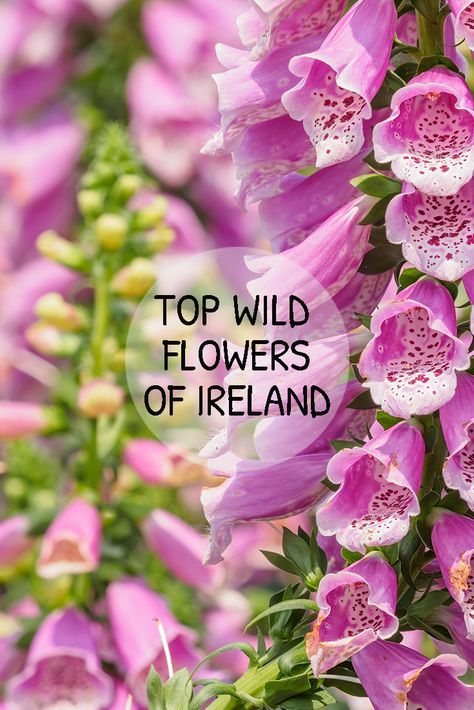 We List Our Top 7 Favourite Irish Plants And Wild Flowers As Well As Exploring The Orgins Of The Species And The Meaning Irish Flower Irish Garden Wild Flowers