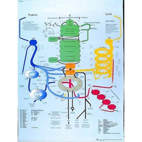 Planche anatomique VR2451UU: Le métabolisme humain (3B Scientific). Cette planche de 50 x 67 cm est un excellent support éducatif pour expliquer comment fonctionne le métabolisme de notre corps, les réactions chimiques qui interviennent, le cycle de l'eau, l'absorption des aliments et l'élimination des déchets présents dans notre corps. Cette affiche peut tout aussi bien être utilisé par les médecins ou les hôpitaux.