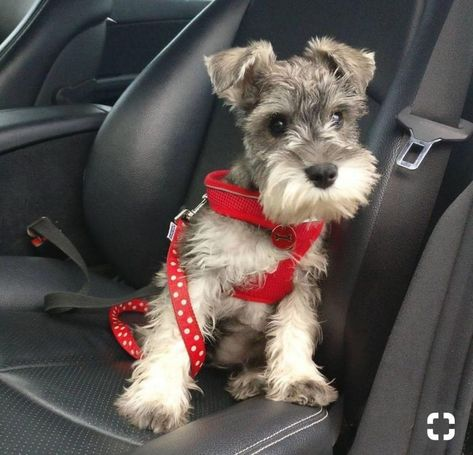 Ranked as one of the most popular dog breeds in the world, the Miniature Schnauzer is a cute little square faced furry coat. Mini Schnauzer Puppies, Miniature Schnauzer Puppies, Miniature Dogs, Cute Puppies, Cute Dogs, Dogs And Puppies, Doggies, Schnauzers, Chien Fox Terrier