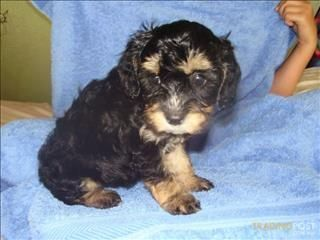 Cavoodle Puppy Cavoodle Puppies For Sale In Brisbane Qld Cavoodle Puppies Puppies For Sale Puppies Cute Puppies