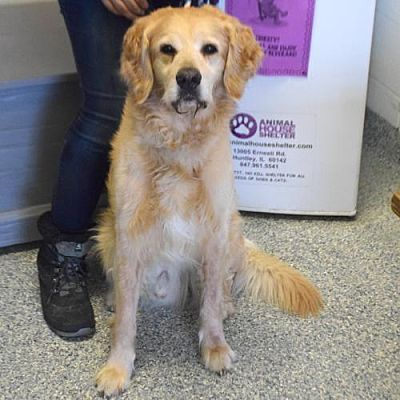 Huntley Il Golden Retriever Meet Bentley A Pet For Adoption