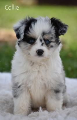 Mini Australian Shepherd Puppies For Sale In 2020 Australian Shepherd Puppies Mini Australian Shepherds Australian Shepherd