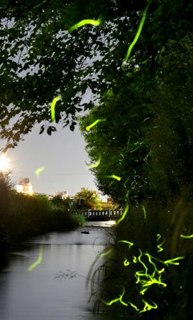 夜の町を背景に「みそそぎ川」で光跡を描いて飛び交うゲンジボタル(24日午後9時、京都市中京区・二条大橋上流)=30秒露光+