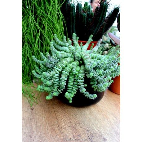 Crassula Marnieriana Hottentot Grubosz Hottentot Zielony Parapet Parapet House Plants Plants