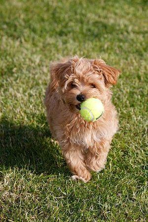 Maltipoo Welpen Sind Sehr Verspielt Maltipoo Welpen Kleine Hunde Hunde