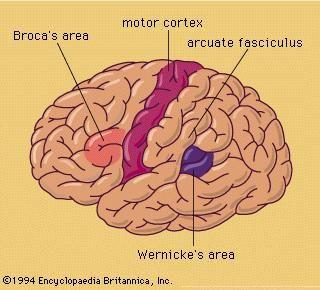 Brocas area labeled diagrams human brain online schematic diagram the triune brain vildt sp ndende om forskellige psykologiske rh pinterest com au interior view brain diagrams sensory motor cortex brain diagram ccuart Gallery