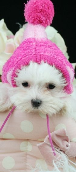 Teacup Maltese And Malterse Puppies For Sale Florida Teacup