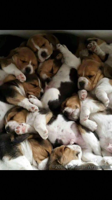 Find Out More On The Happy Beagle Dogs Personality #beaglemix #grumpybeaglesunited #beaglesfunny