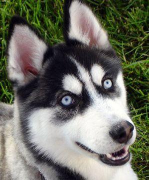 Alaskan Siberian Huskies
