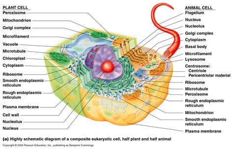 Plant cell diagram animal cell pinterest plant cell plant plant cell diagram animal cell pinterest plant cell plant cell structure and cell structure ccuart Gallery