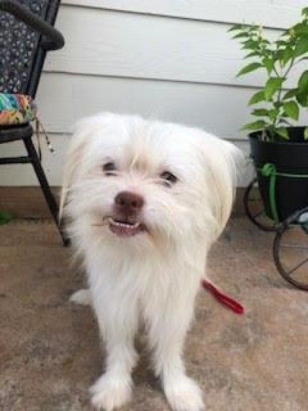 Maltese And Japanese Chin Mixed Dog For Adoption In Santa Fe
