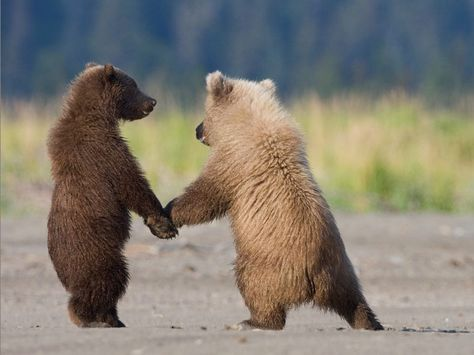 Grizzly bear cubs - it's important to sweep the leg out with that move, like this.  Go ahead, try it.