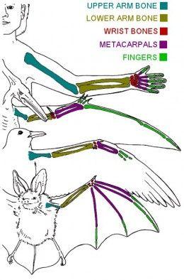 Bat Bird And Pterodactyl Wing Construction