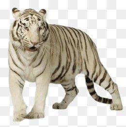 Free Download White Tiger Picture Png Image Iccpic Iccpic Com White Tiger Pictures Tiger Pictures White Tiger