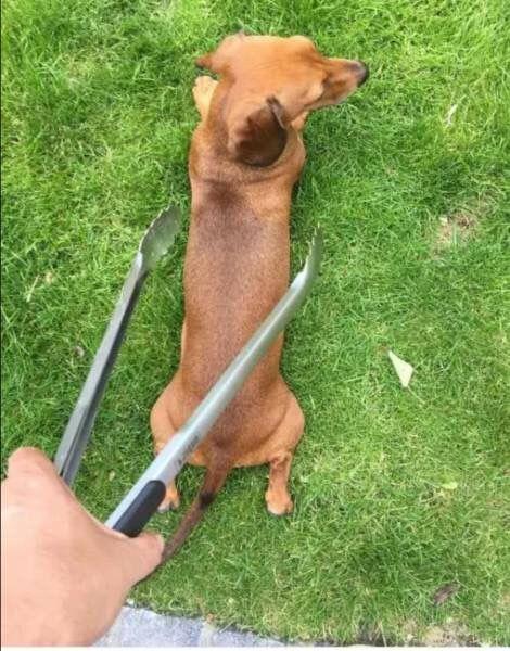 Oh No I Am Not Hotdog Dachshund Dachshund Puppies Wiener