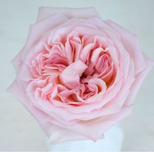 Premium Scented Garden Rose Pink O Hara Svadba