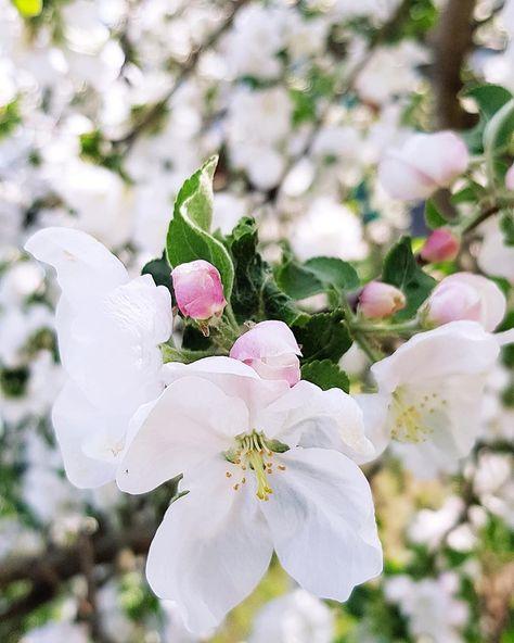 Мужа картинка, яблони в цвету картинки с добрым утром