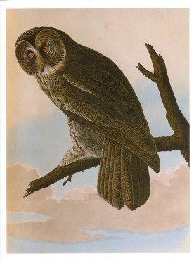 The Little Owl Albrecht Durer Poster Print