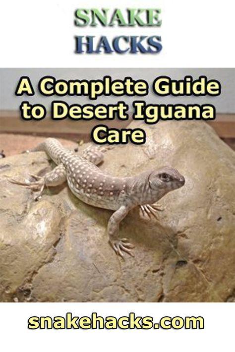 A Complete Guide To Desert Iguana Care Pet Lizards Iguana Pet Iguana Care