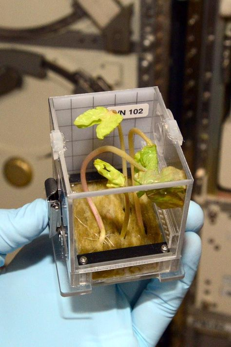 """""""Growing morning glory to learn how to better grow plants in space - next we will be growing rice"""" --Astronaut Terry Virts from the International Space Station.  http://www.nasa.gov/mission_pages/station/research/experiments/1273.html"""