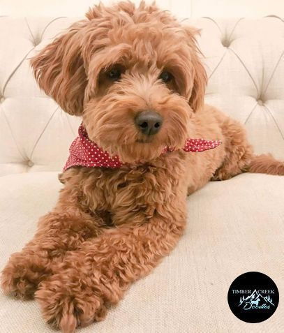 We Are Located In West Ogden Utah About A Half Hour From Salt Lake City And Just A Few Hours From Idaho Colorado And In 2020 Goldendoodle Toy Goldendoodle Puppies