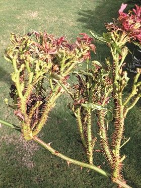 How And When To Prune Knock Out Roses Sand And Sisal Rose Trees Plants Diy Garden
