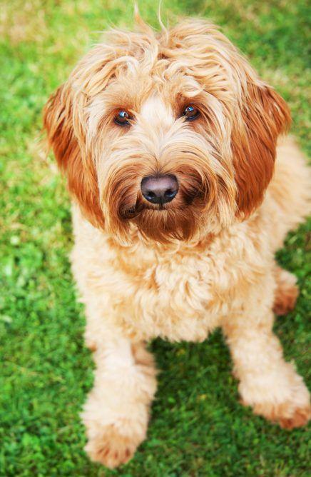 Soft Coated Golden Terrier Breeds Dogs Dog Breeds