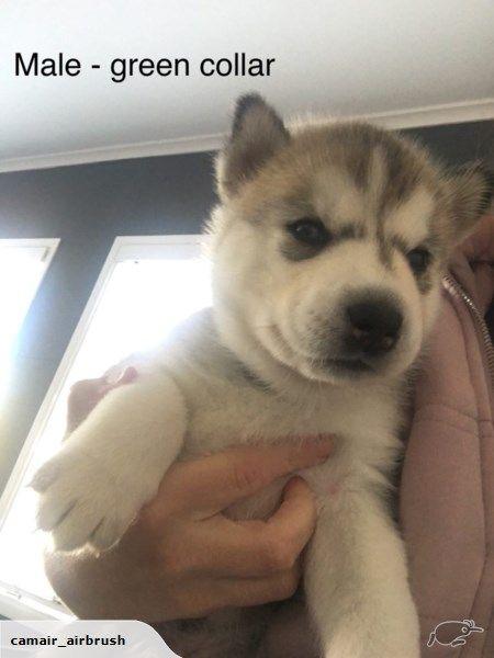 Purebred Siberian Husky Puppies Trade Me Siberian Husky Husky