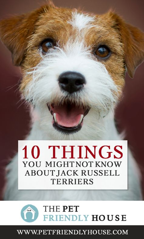 A highly recognizable breed, many people feel they are already well acquainted with the Jack Russell Terrier. Here is a list of some lesser known& The post 10 Things You Might Not Know About Jack Russell Terriers appeared first on Gwen Howarth Dogs. Parson Jack Russell, Jack Russell Mix, Jack Russell Puppies, Parson Russell Terriers, Jack Terrier, Fox Terrier, Terrier Mix, Cairn Terriers, White Terrier