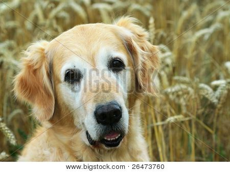 Golden Retriever In Field Wheat Poster Dog Food Recipes Food