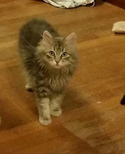 Adopt Kitten On Kittens Pets Animals