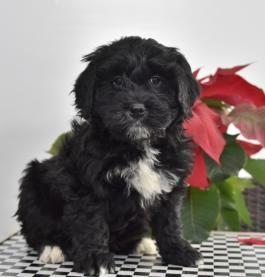 Price Under 300 Italian Mastiff Puppies Mastiff Puppies Husky