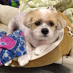 Available Pets At Save A Shelter Shih Tzu S A S S Rescue In