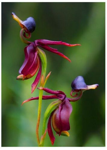 Flying Duck Orchid Seeds Plant Black Orchid Seeds Potted Flowers Seeds 100 Pcs Orchid Seeds Flying Duck Orchid Orchid Flower