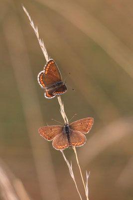 Blauling Weibl Tierwelt Coswig Schmetterling Tiere Insekten